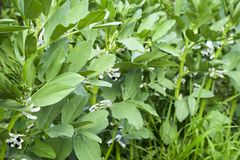 A row of beans in the garden. Green leaves and flowers of beans. Green shoots of beans. A row of beans in the garden. Green leaves and flowers of beans. Green stock photography