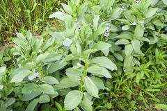 A row of beans in the garden. Green leaves and flowers of beans. Green shoots of beans. A row of beans in the garden. Green leaves and flowers of beans. Green royalty free stock photography