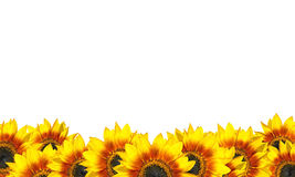 Row of Beatiful Sunflowers Isolated on White Stock Image