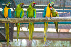Row of beautiful macaw parrot Royalty Free Stock Photo