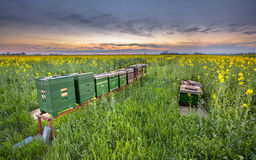 Row of Beehives in a canola field. Row of Beehives in a Coleseed field at sunset in the Province of Groningen, Netherlands royalty free stock image