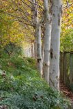 A row of birch trees along a path in Wuhan, China stock photos