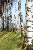 Row of birch trunks on a slope Royalty Free Stock Image