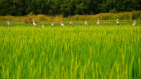 Row of Birds. In rice field in early morning Royalty Free Stock Photo