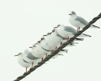 Row of black-headed gulls. On a high voltage cable in Smeermaas stock photography