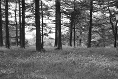 A row of black and white trees. trees Royalty Free Stock Images
