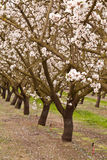 Row of blooming almond trees. With pink and white blossoms Royalty Free Stock Images