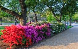 Row of Blooming Azaleas Washington DC Royalty Free Stock Image