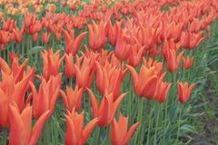 Row of blooming orange tulips royalty free stock photos