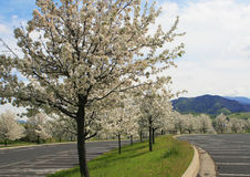 Row of blooming trees in a spring Royalty Free Stock Images