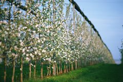 Row of blooming young apple trees in spring time Royalty Free Stock Image