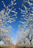 Cherry trees in bloom stock photos