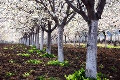 Spring cherry garden stock photography