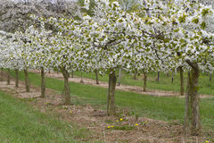 Row of blossoming cherry trees in spring Royalty Free Stock Image
