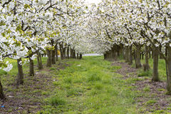Row of blossoming cherry trees in spring Royalty Free Stock Photography