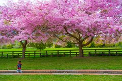 Young boy running past the recently bloomed blossoms royalty free stock photo