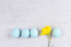 Row of blue eggs with daffodil Royalty Free Stock Photo
