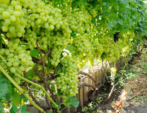 Row of blue and green grape Stock Photos