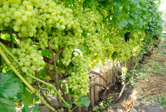 Row of blue and green grape Stock Image
