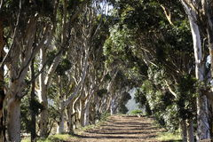 Row of bluegum trees Royalty Free Stock Images