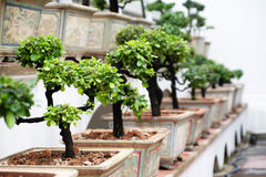 Row of bonsai trees Stock Photography