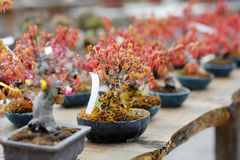 Row of bonsai trees Royalty Free Stock Image