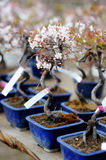 Row of bonsai trees Royalty Free Stock Images