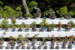 Row of bonsai trees Stock Images