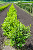 Row of boxwood plants in the nursery Royalty Free Stock Images