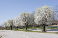 Row of Bradford Pear Trees in Spring Royalty Free Stock Image