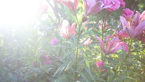 A row of bright flowers in the garden stock footage