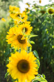 Row of bright sunflowers with selective focus Stock Photos