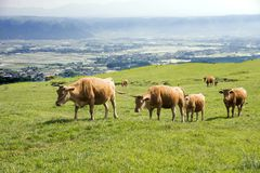 Row of brown cows. Walking on green grassland in Aso, Kumamoto Stock Photos