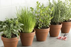 Row of brown terracotta pots with fresh herbs Royalty Free Stock Photo