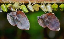 Row of butterfly cocoons