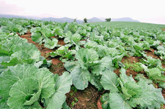 Row of cabbage. In the farm, north part of Thailand stock photography