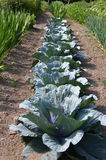 Row of cabbage in the garden in Vermont Stock Photos