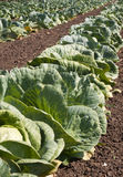 Row of Cabbage. Cabbage plants in rows on field Royalty Free Stock Images