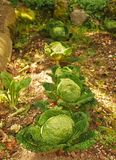 Row of Cabbages in Orto Stock Images