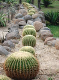 Row of cactus plants. Row of decorative cactus plants on rockery receding into distance Royalty Free Stock Images