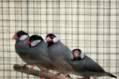 A row of caged red beaked birds sat on their perch. Stock Photography