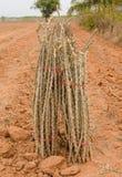 Row of cassava Stock Images