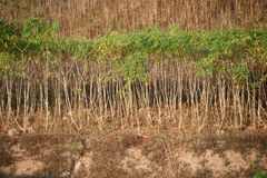 Row of cassava tree. stock photo