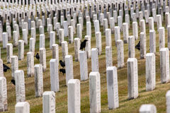 Row of Cemetery Graves. Crows in a cemetery among rows of tombstones Royalty Free Stock Photo