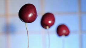 A row of cherries with water drops swings on a blue background Macro. A narrow zone of sharpness. Close up.