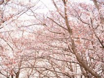 Row of cherry blossom trees in full bloom.  Stock Photos