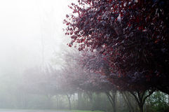 Row of cherry plum trees in fog Royalty Free Stock Photography