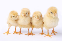 A row of chick Royalty Free Stock Image