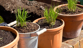 Row of Chive Plants in Pots Royalty Free Stock Image
