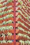 Row of Chlorophytum bichetii Royalty Free Stock Photos